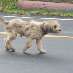 This sweet Doodle will soon arrive at Golden Gateway and then to an adoptive home.